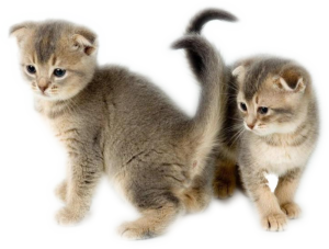Отит у кошки