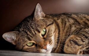 лечение уретрита у кошек