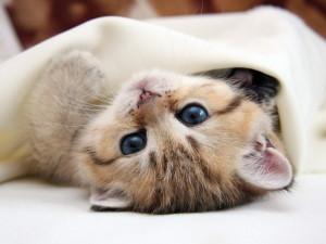 Лечение эндометрита у кошек
