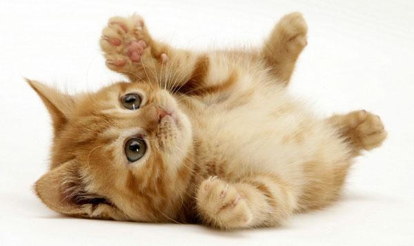 Цистит у кошек