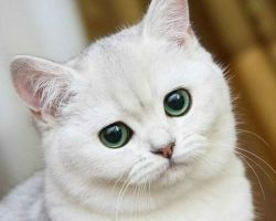 Эндометрит у кошек