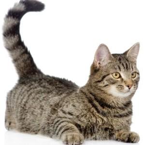 лечение чесотки у кошек