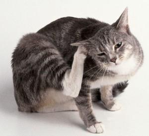 лечение кошек с чесоткой