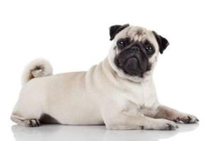 папиллома у собак