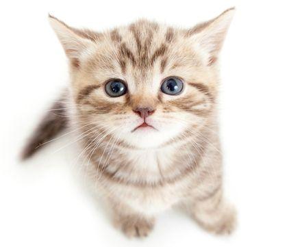 Стригущий лишай у кошек