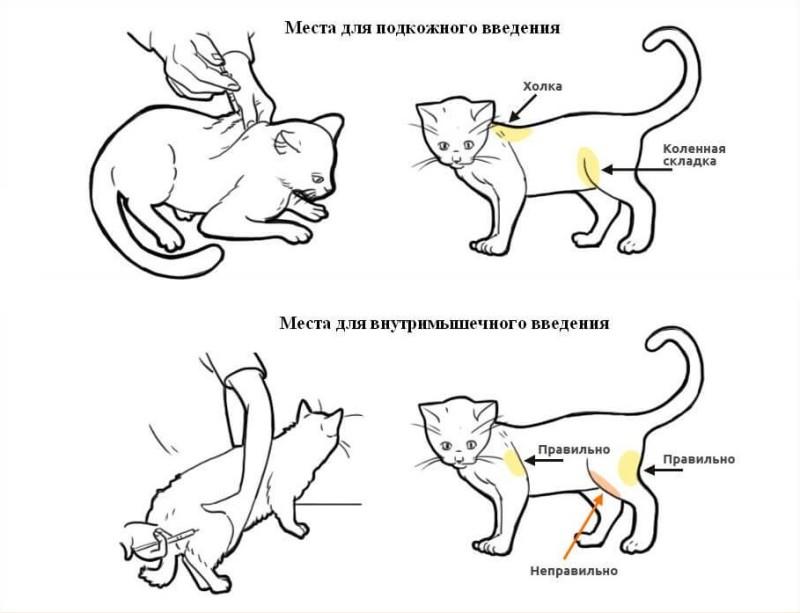 Куда ставить укол кошке?